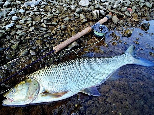 Zbog mresta lovostaj riba od 15. aprila