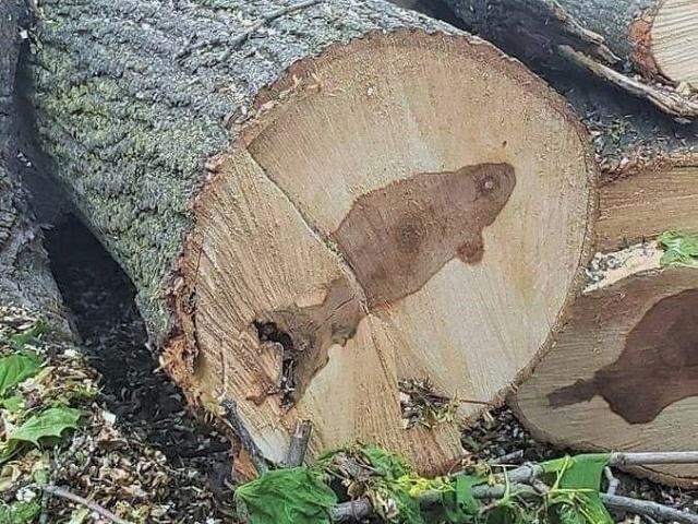 Odsekli drvo i pojavila se slika ribe